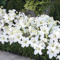 White Carpet Border Lily™