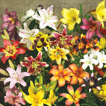 Other Lilies