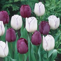 Purple Majesty Tulip Duet™