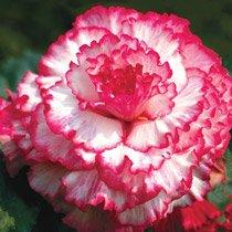 Blush Prima Donna™ Dinnerplate Begonia
