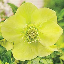 Magnificent Seven Wow!® Hellebore Collection