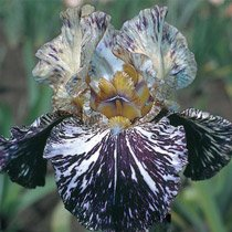 Gnus Flash Bearded Iris