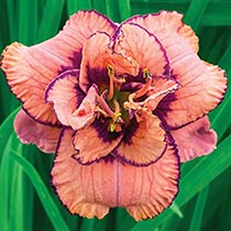 Tropical Island Reblooming  Daylily