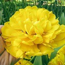 Yellow Majesty™ Tulip