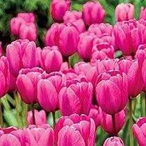 Pink Impression Perennial Tulip