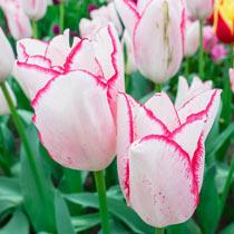 Beautytrend Tulip
