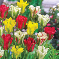 Viridiflora Tulip Mixture
