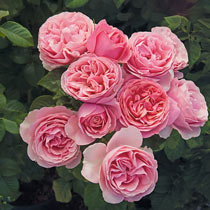 All Dressed Up™ Grandiflora Rose