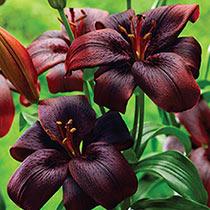 Royal Kiss Lily