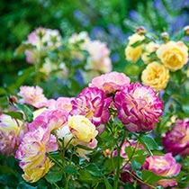 Life of the Party™ Shrub Rose