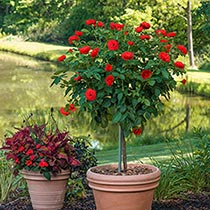 "Take It Easy™ 24"" Patio Tree Rose"