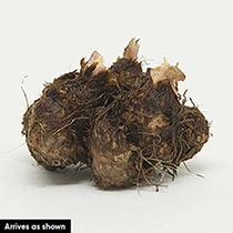 Orange Cascade Begonia