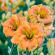 Orange Smoothie Reblooming Daylily