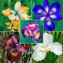 Siberian Iris Collection