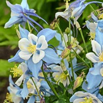 Songbird Giant Columbine Collection