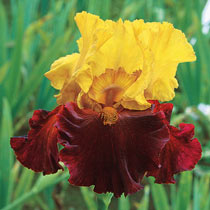 Kathy Chilton Bearded Iris