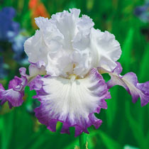 Center Ice Bearded Iris