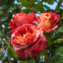 Tropical Lightning™ Climbing Rose