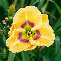Etched Eyes Daylily