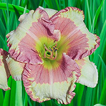 Eskimo Kisses Reblooming Daylily