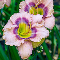 Mystical Rainbow Reblooming Daylily