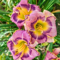Sparkling Grape Juice Daylily