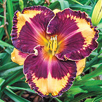 Ledgewood's Tony Likes It Reblooming Daylily