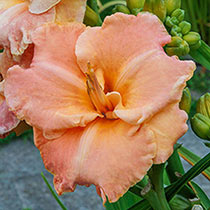 Spacecoast Sweetness Reblooming Daylily