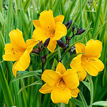 Little Fairy Daylily