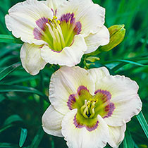 All American Baby Daylily
