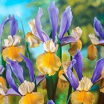 Miss Saigon Dutch Iris