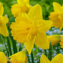 Exception Daffodil
