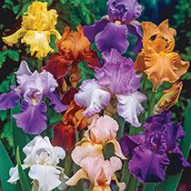 Breeder's Choice Reblooming Tall Bearded Iris Mix