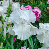 Immortality Reblooming White Bearded Iris