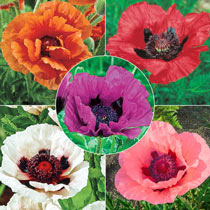 Breck's® Colourful Oriental Poppy Collection