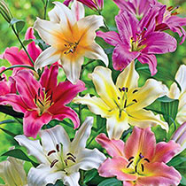 Lily Trees