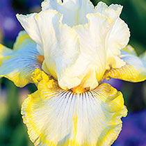 Double Ringer Bearded Iris