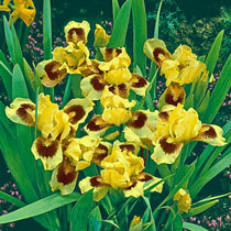 Ultimate Dwarf Bearded Iris