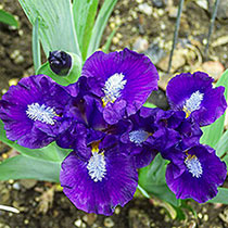 Trajectory Dwarf Bearded Iris