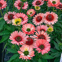 SunSeekers Salmon Coneflower