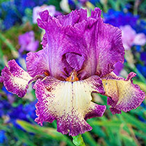 Reblooming Bearded Iris Collection 1