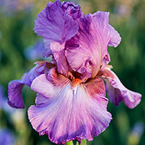 Reblooming Bearded Iris Collection 2