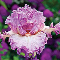Fragrant Bearded Iris Collection