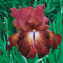 Double Delight Reblooming Iris Collection