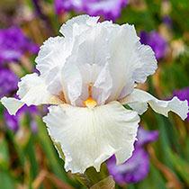 Eternal Bliss Reblooming Bearded Iris