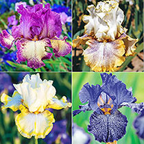 Plicata Bearded Iris Collection