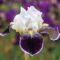 Dwarf Bearded Iris Collection