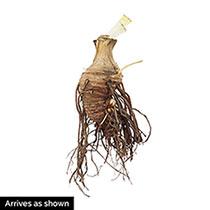 Bicolour Bearded Iris Collection