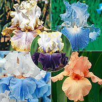 Award Winners Bearded Iris Collection