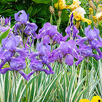 Pallida Variegata Silver Iris